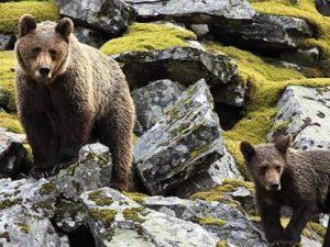Observación del oso pardo (3)